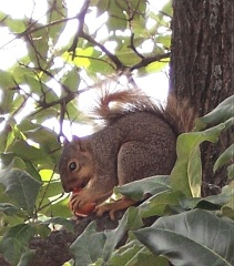 Tomato-eating Squirrel