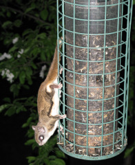 Flying Squirrel Gets a Midnight Snack