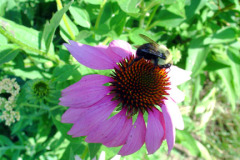 Bee likes coneflowers