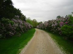 Lilac scented country lane