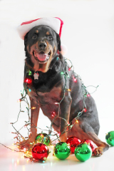 Dog gets into Christmas Decorations!