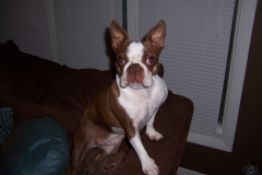 Penny Lane: Beautiful Boston Terrier!!
