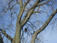 One of the three  Bald Eagles spotted