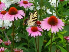yellow swallow tail enjoys cone flower