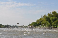 Asian Carp flying circus
