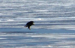 Bald Eagle landing strip