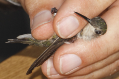Banding Humming Bird