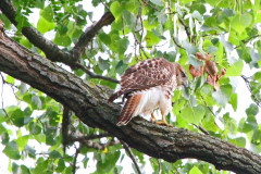 Red Tail Hawk In Oak Tree