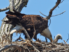 Mother Eagle With Baby