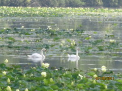 Swans on Spring Lake
