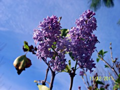 Lilacs Blooming in NOVEMBER!