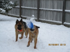 2 German Shepherds Playing in the Snow!