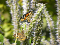 Common Buckeye & Monarch butterflies
