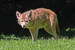 Wild Coyote Injured