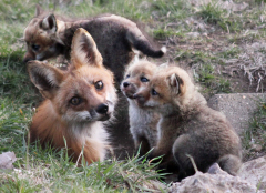 Mama fox and kids