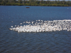 pelicans come to Matanza beach