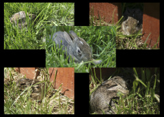 Yard full of baby bunnies