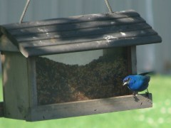 Beautiful Indigo Bunting