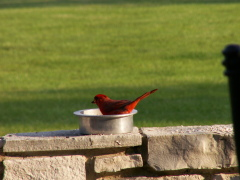 cardinal decides to get into food bowl