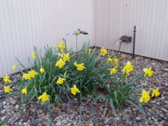 April Sunshine,Daffodil-Style