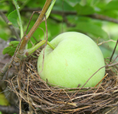 APPLE GROWS IN BIRD NEST