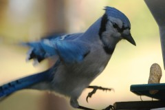 Bluejay landing to grab a peanut