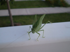 Katy the Katydid