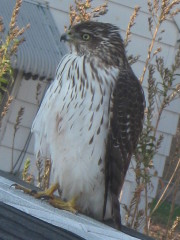 Huge Hawk Hanging out after his meal!