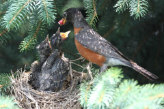 Baby Robins Growing Up