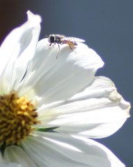 Sweat Bee!