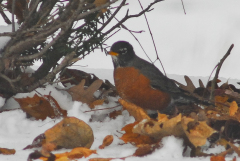 Winter Robins invade Backyard
