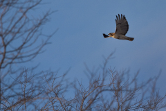 Red Tail Hawk Makes Cherokee Hills Home