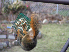 squirrel on feeder