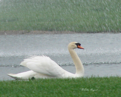 Swan Enjoying The Rain