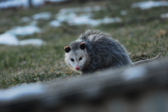 POSSUM  IN OUR BACKYARD