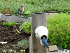 Bluebird Activity From Kitchen Window