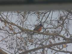 Robins in the snow!