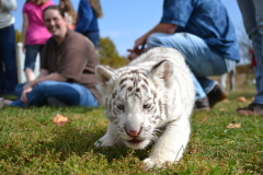Bogdan a local White Tiger Cub
