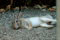laid back rabbit relaxing in the dust