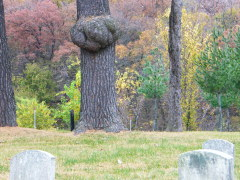 Panda-faced tree knot in graveyard