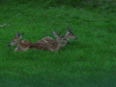 Three fawn nursing in the backyard.