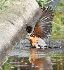 RAIN MAKES WATERING HOLE FOR BIRDS