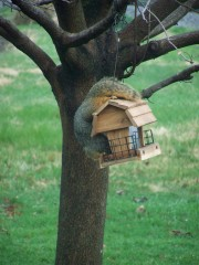 Squirrel Steals Suet