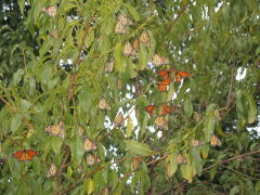 Monarch Butterflies in the Twin Cities