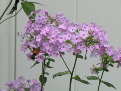 Hummingbird Moth comes to visit