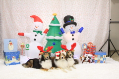 This a Sheltie Christmas