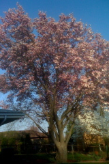 This magnolia tree is in our side yard.