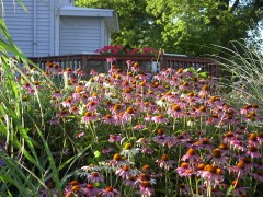 Butterflies love the coneflowers!