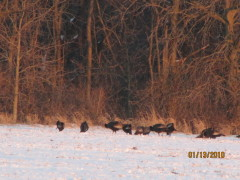 Wild turkeys, Canadian Geese, Sunset