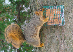 Squirrel Eating Hot Pepper Bird Cake